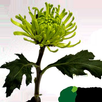 ANASTASIA GREEN DARK