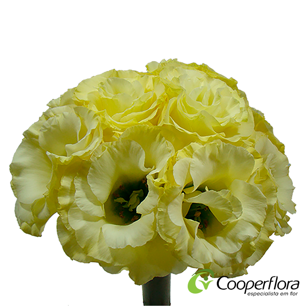 BUQUE LISIANTHUS JULIA GOLD STAR AMARELA
