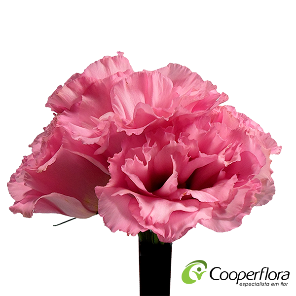 BUQUE LISIANTHUS JULIA ROSE LIP BR/ RO BICOLOR