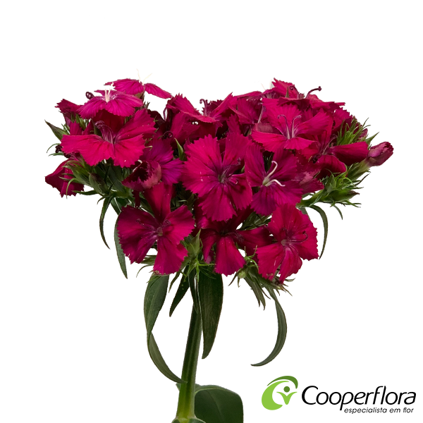DIANTHUS BARBATUS AMAZON NEON CHERRY