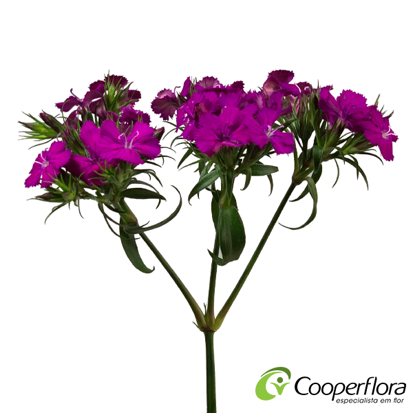 DIANTHUS BARBATUS AMAZON NEON PURPLE
