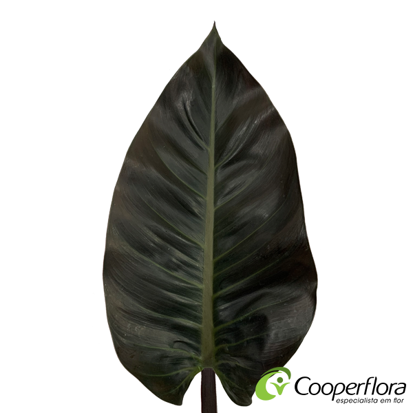 FOLHAGEM PHILODENDRON IMPERIAL RED