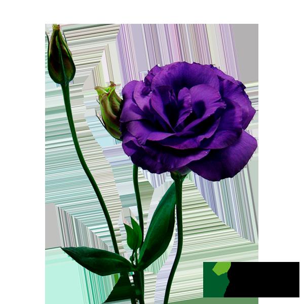 LISIANTHUS JULIA BLUE SKY ROXO
