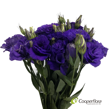 LISIANTHUS FLARE DEEP BLUE II ROXO