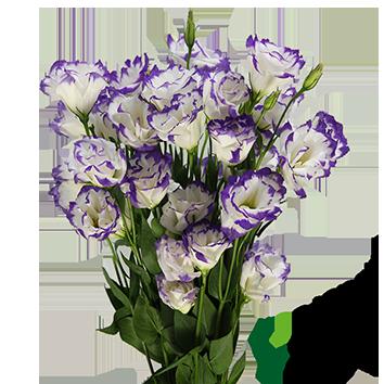 LISIANTHUS BOLERO BLUE PICOTEE (BR/RX) BICOLOR