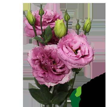 LISIANTHUS JULIA ROSE VENUS ROSA