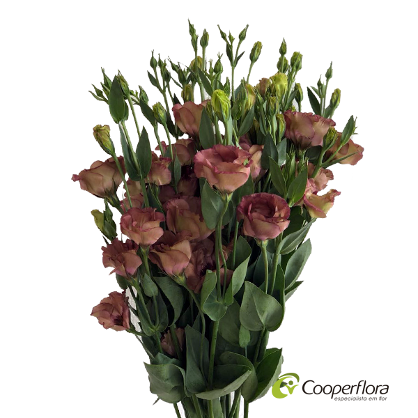 LISIANTHUS WONDEROUS BROWN