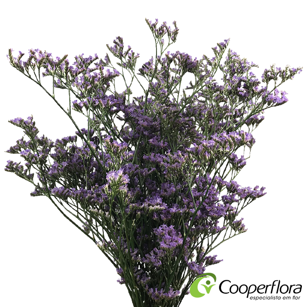 LIMONIUM KLARA SHOOTING STAR