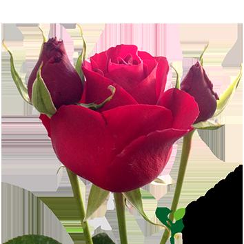 ROSA CHARM RED ALERT