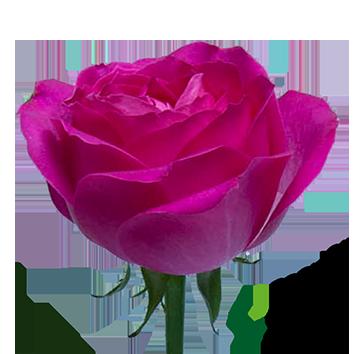 ROSA CHERRY AVALANCHE 12 HST
