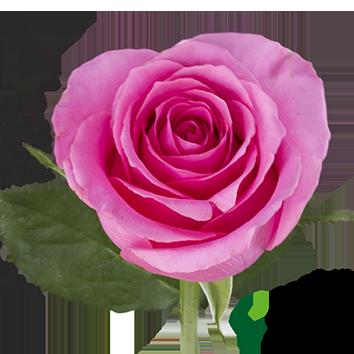 ROSA PINK MARTINI
