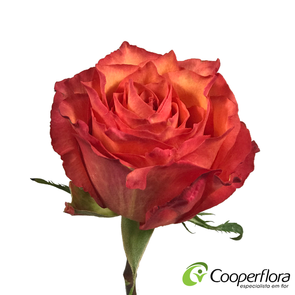 ROSA BATIK