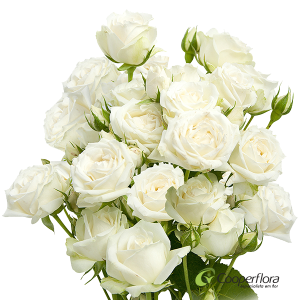 SPRAY WHITE ROSEVER
